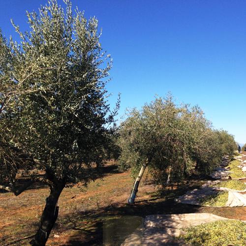 Valderrama Olijvengaard in Spanje